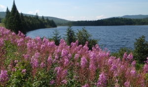 Wild flowers in bloom at Third Connecticut Lake, Pittsburg NH