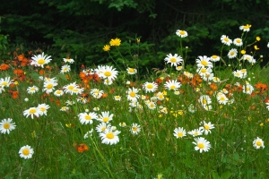 Daisys and paintbrushes growing wild along US Rte 3 in Pittsburg, New Hampshire