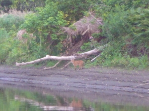 Bobcat on the river bank