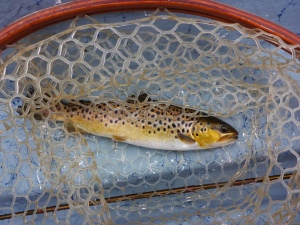 brown throut in the net